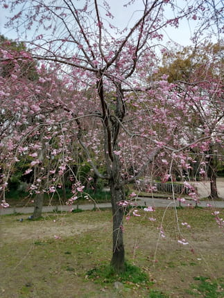 兵庫県尼崎市の近松公園の桜の様子