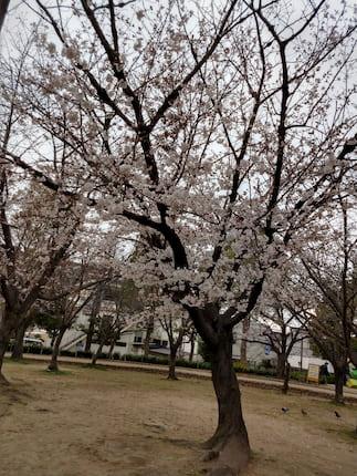兵庫県尼崎市の近松公園の桜2