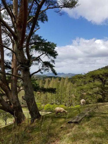 六甲山牧場の羊たち