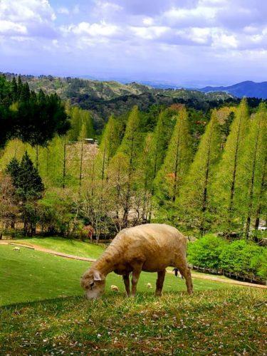 六甲山牧場のひつじ